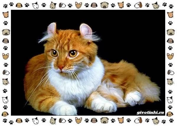 Американский-керл-порода-кошек-Описание-особенности-характер-и-фото-7