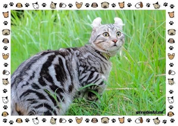 Американский-керл-порода-кошек-Описание-особенности-характер-и-фото-8
