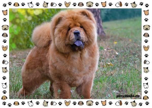 Чау-чау-порода-собак-Описание-особенности-характер-уход-и-цена-1