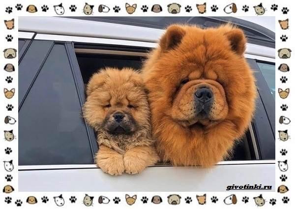 Чау-чау-порода-собак-Описание-особенности-характер-уход-и-цена-13