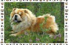 Чау чау порода собак. Описание, особенности, характер, уход и цена