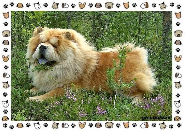 Чау-чау-порода-собак-Описание-особенности-характер-уход-и-цена-16