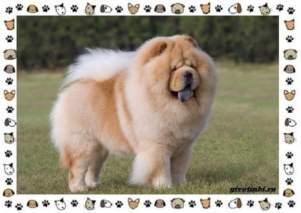 Чау-чау-порода-собак-Описание-особенности-характер-уход-и-цена-20