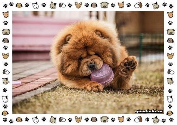 Чау-чау-порода-собак-Описание-особенности-характер-уход-и-цена-21