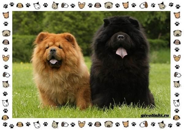 Чау-чау-порода-собак-Описание-особенности-характер-уход-и-цена-22