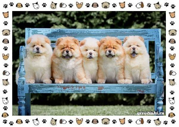 Чау-чау-порода-собак-Описание-особенности-характер-уход-и-цена-23