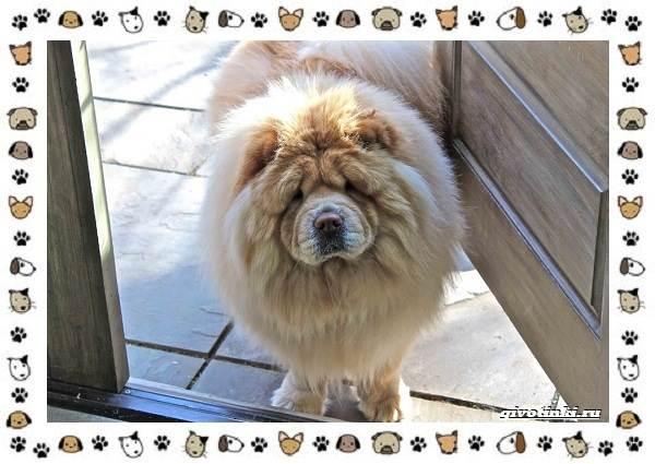 Чау-чау-порода-собак-Описание-особенности-характер-уход-и-цена-24