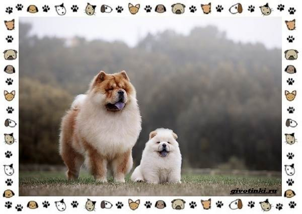 Чау-чау-порода-собак-Описание-особенности-характер-уход-и-цена-6
