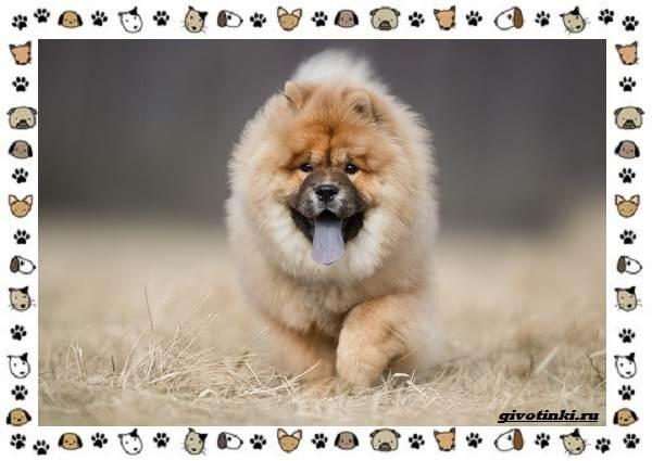 Чау-чау-порода-собак-Описание-особенности-характер-уход-и-цена-9