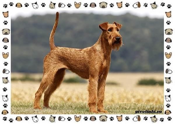 Ирландский-терьер-порода-собак-Описание-особенности-история-и-фото-1