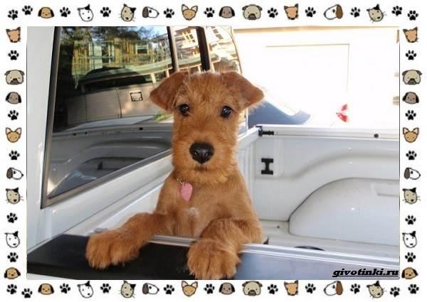 Ирландский-терьер-порода-собак-Описание-особенности-история-и-фото-13