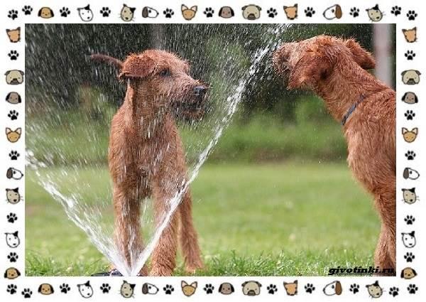 Ирландский-терьер-порода-собак-Описание-особенности-история-и-фото-15
