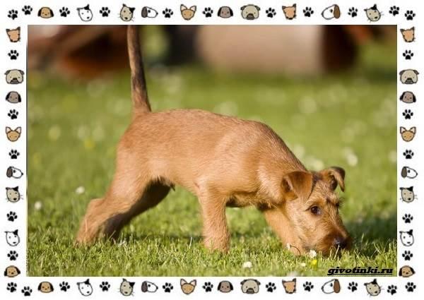 Ирландский-терьер-порода-собак-Описание-особенности-история-и-фото-3