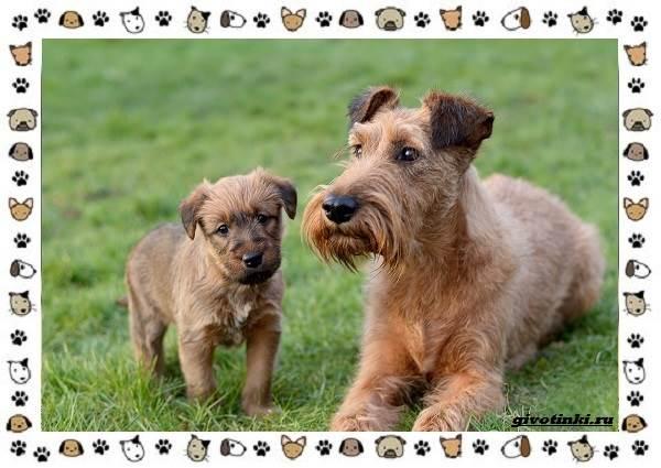 Ирландский-терьер-порода-собак-Описание-особенности-история-и-фото-4