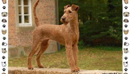 Ирландский терьер — порода собак. Описание, особенности, история и фото
