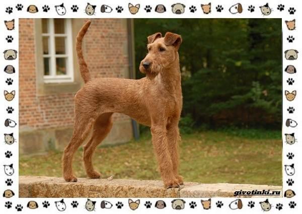Ирландский-терьер-порода-собак-Описание-особенности-история-и-фото-5