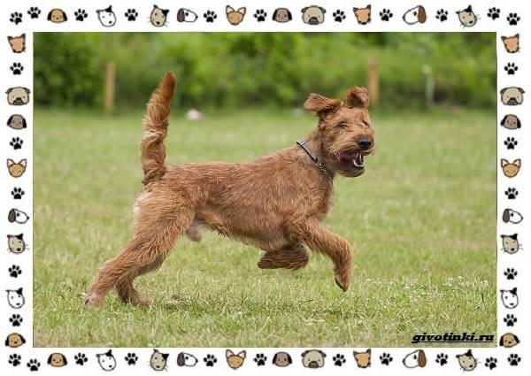 Ирландский-терьер-порода-собак-Описание-особенности-история-и-фото-6