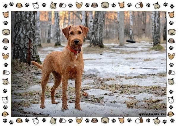 Ирландский-терьер-порода-собак-Описание-особенности-история-и-фото-8
