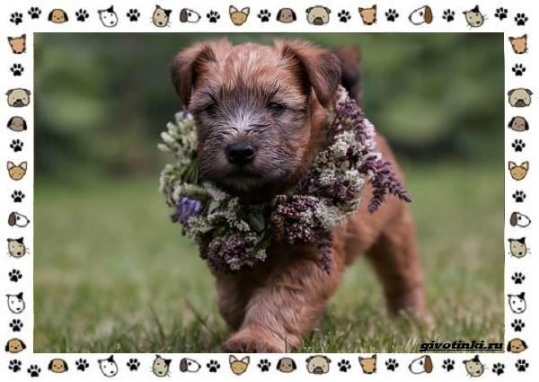 Ирландский-терьер-порода-собак-Описание-особенности-история-и-фото-9