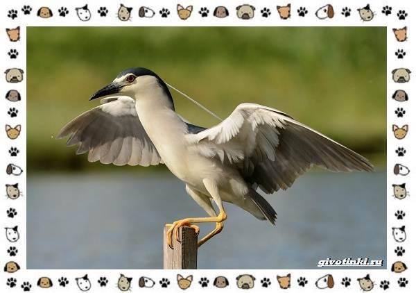 Кваква-птица-Описание-особенности-виды-и-образ-жизни-1