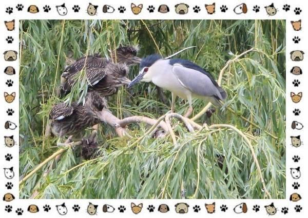 Кваква-птица-Описание-особенности-виды-и-образ-жизни-12