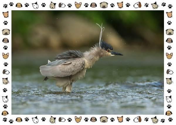 Кваква-птица-Описание-особенности-виды-и-образ-жизни-13