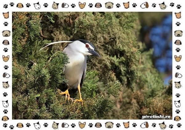Кваква-птица-Описание-особенности-виды-и-образ-жизни-3