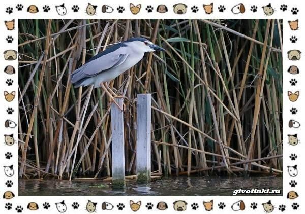 Кваква-птица-Описание-особенности-виды-и-образ-жизни-4