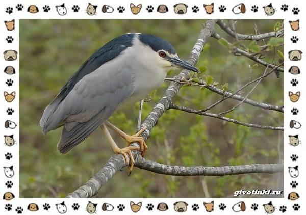 Кваква-птица-Описание-особенности-виды-и-образ-жизни-5