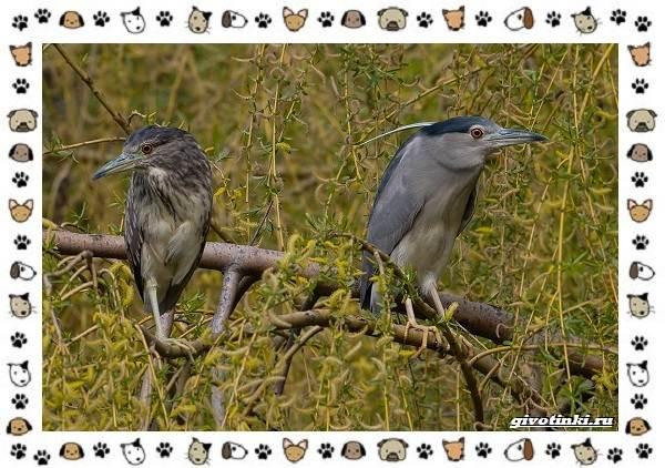 Кваква-птица-Описание-особенности-виды-и-образ-жизни-6