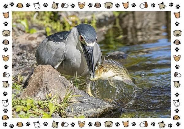Кваква-птица-Описание-особенности-виды-и-образ-жизни-7