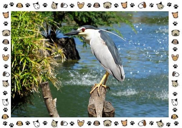 Кваква-птица-Описание-особенности-виды-и-образ-жизни-8
