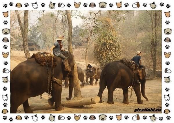 Виды-слонов-их-особенности-образ-жизни-и-среда-обитания-12-1
