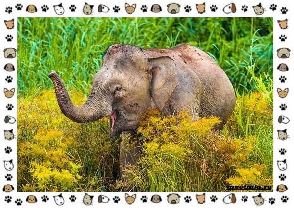 Виды-слонов-их-особенности-образ-жизни-и-среда-обитания-15-1