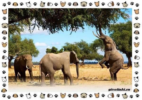 Виды-слонов-их-особенности-образ-жизни-и-среда-обитания-3-1Виды слонов, их особенности, образ жизни и среда обитания