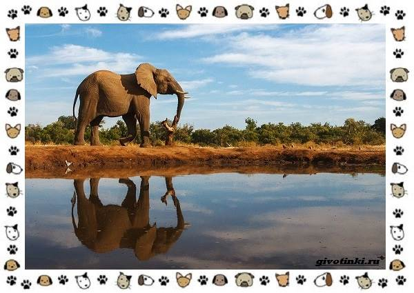 Виды-слонов-их-особенности-образ-жизни-и-среда-обитания-6-1