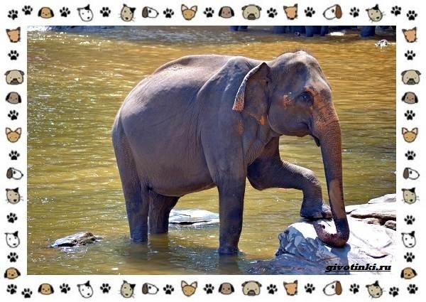Виды-слонов-их-особенности-образ-жизни-и-среда-обитания-25