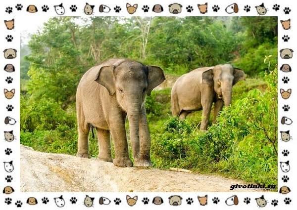 Виды-слонов-их-особенности-образ-жизни-и-среда-обитания-26