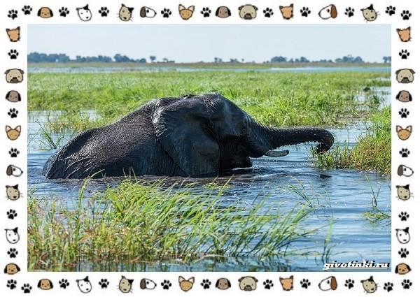 Виды-слонов-их-особенности-образ-жизни-и-среда-обитания-27