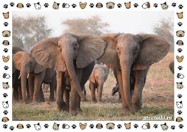 Виды-слонов-их-особенности-образ-жизни-и-среда-обитания-28