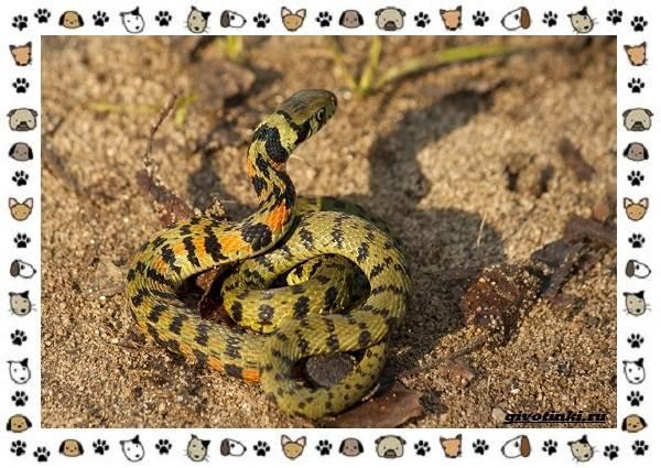Животный-мир-Японии-пресмыкающиеся-и-земноводные-23