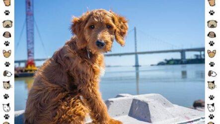Голдендудль порода собак. Особенности, содержание и уход