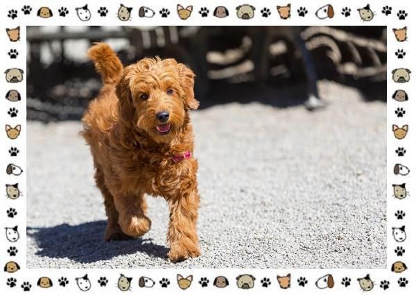 Голдендудль-порода-собак-Особенности-содержание-и-уход-2