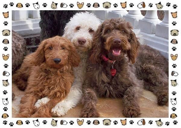 Голдендудль-порода-собак-Особенности-содержание-и-уход-3