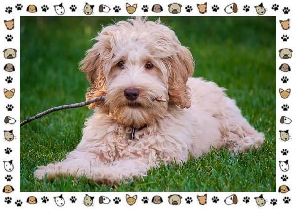 Голдендудль-порода-собак-Особенности-содержание-и-уход-4