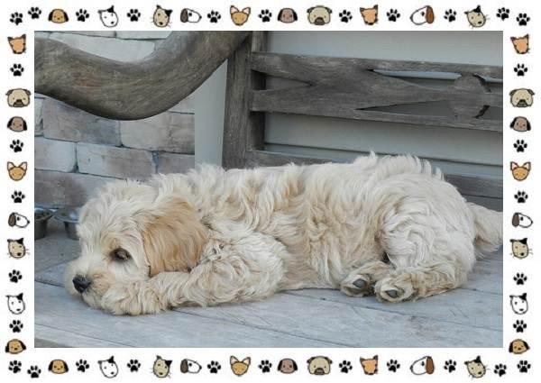 Голдендудль-порода-собак-Особенности-содержание-и-уход-6