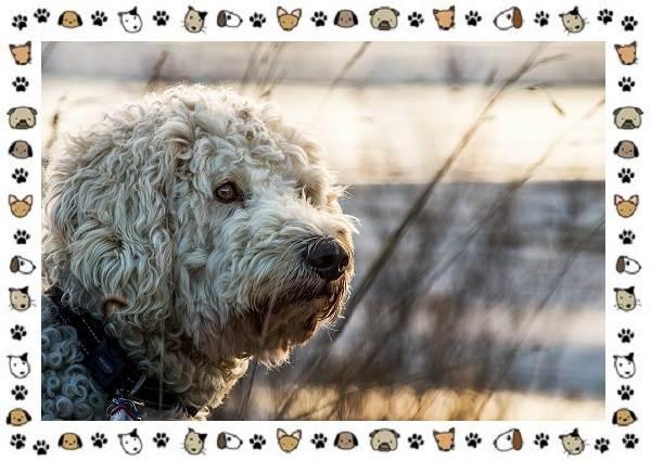 Голдендудль-порода-собак-Особенности-содержание-и-уход-8