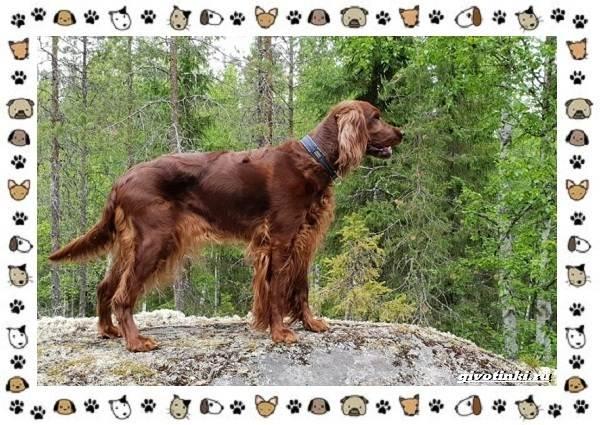 Породы-охотничьих-собак-10