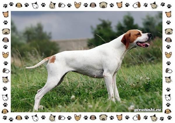 Породы-охотничьих-собак-11