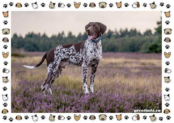 Породы-охотничьих-собак-12